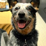 nova-the-australian-cattle-dog-3_70017_2013-02-15_w450