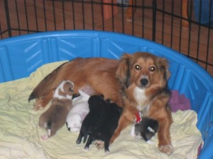Long Haired Dachshund Mix Puppies The Barking Lot